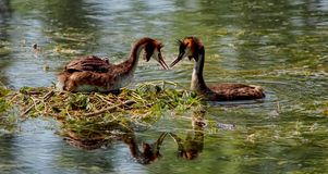 Eared grebes Stock Images