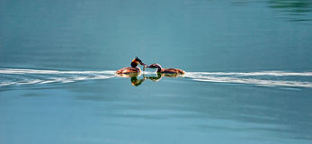 Eared grebes Royalty Free Stock Photos