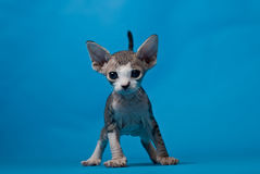 Eared kitty. Eared sphinx kitten on blue background Stock Images