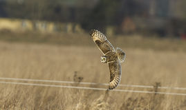 Eared owl Royalty Free Stock Images