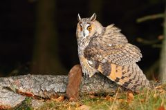Eared owl with weasel Royalty Free Stock Images