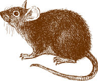 Eared rat. The vector drawing of a rat in style of a sketch Royalty Free Stock Photography