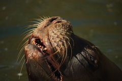 Eared seal (Otariidae) smiling Stock Image