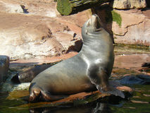 Eared seal is taking sunbathing Royalty Free Stock Images