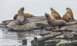 Eared seals on a rookery on Kamchatka Royalty Free Stock Photo