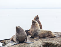 Eared seals on a rookery on Kamchatka Stock Photos