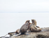 Eared seals on a rookery on Kamchatka Royalty Free Stock Images