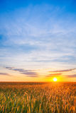 Eared Wheat Field, Summer Cloudy Sky In Sunset Dawn Sunrise. Sky Royalty Free Stock Images