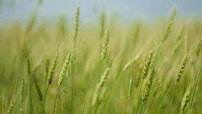 Eared wheat field stock video footage