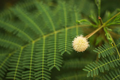 Earleaf acacia Royalty Free Stock Photo