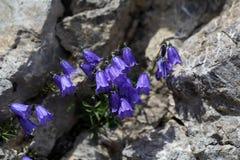 Earleaf bellflower (Campanula cochleariifolia) Royalty Free Stock Photo