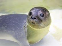 earless σφραγίδα μωρών Στοκ φωτογραφίες με δικαίωμα ελεύθερης χρήσης
