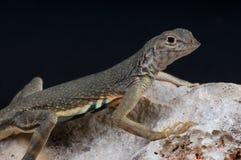 earless большая ящерица Стоковое Изображение RF
