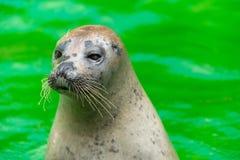 Earless уплотнения или истинные уплотнения морские млекопитающие семьи стоковые изображения rf