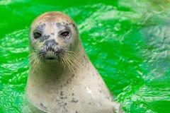 Earless уплотнения или истинные уплотнения морские млекопитающие семьи стоковые фото