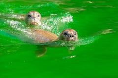 Earless уплотнения или истинные уплотнения морские млекопитающие семьи стоковое изображение rf