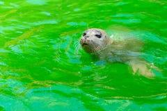 Earless уплотнения или истинные уплотнения морские млекопитающие семьи стоковая фотография rf