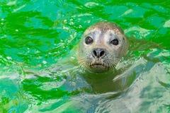 Earless уплотнения или истинные уплотнения морские млекопитающие семьи стоковое изображение