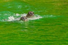 Earless уплотнения или истинные уплотнения морские млекопитающие семьи стоковая фотография