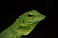 Earless agamid Obraz Royalty Free