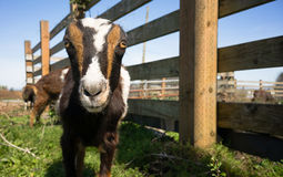 Earless Goat Close Portrait Farm Animal Domestic Livestock Stock Image