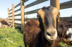 Earless Goat Close Portrait Farm Animal Domestic Livestock Royalty Free Stock Photography