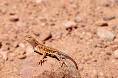 Earless Lizard Stock Photo