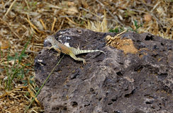 Earless lizard Stock Photography