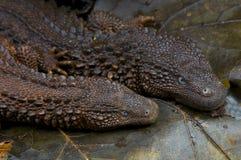 Earless monitor lizard / Lanthanotus borneensis Stock Images