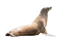 Earless seal Stock Photos