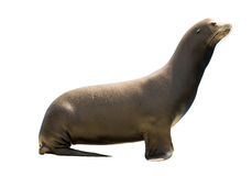 Earless seal Stock Photography