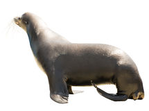 Earless seal. Isolated  over white Stock Photo