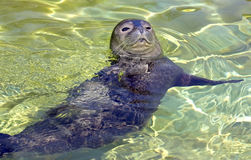 Earless seal pup Stock Photos