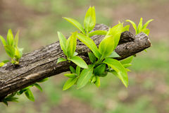 Earliest spring green leaves on old branches Royalty Free Stock Photography