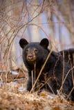 Earliy Frühlings-schwarzer Bär stockfotografie