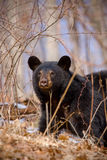 Earliy Spring Black Bear Stock Photography
