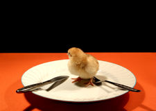 Is early for this. Here is a funny one. A little chicken stand on a plate ready to eat him Royalty Free Stock Images
