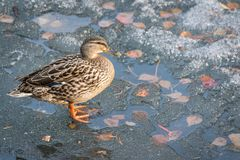 Early arrival of birds from warm edges. Duck on ice. royalty free stock photo