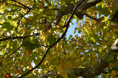 Early Autum leaves Royalty Free Stock Photo