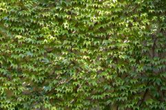 Early autumn background with Victoria creeper five-leaved ivy leaves creeping on white wall in sunlight Royalty Free Stock Photos