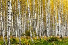 Early autumn birch grove Stock Image