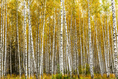 Early autumn birch grove Stock Photography