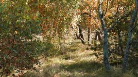 Early autumn in the forest. Beautiful small autumn forest on the Curonian Spit stock video footage