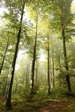Autumn beech forest in the fog stock photo