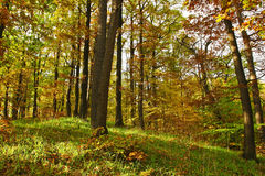 Early autumn forest detail. Autumn forest glade detail with golden leafs and green grass Royalty Free Stock Photo