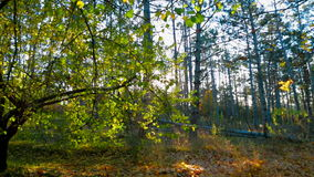 Early Autumn Forest In The Sunlight. Tracking Shot. Tracking shot from the green trees to the ground covered with yellow leaves in the forest in the sunlight in stock video footage