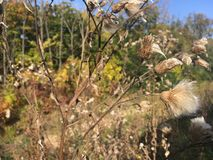 Forest, early autumn. Dry thistle, close-up. Early autumn forest. Vladivostok nature, dry autumn thistle, close-up Stock Photos