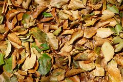 Early autumn leaves Royalty Free Stock Photography