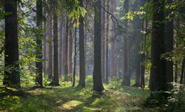 Early autumn morning in the forest Stock Images