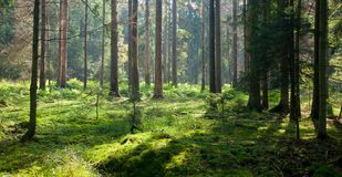 Early autumn morning in the forest Stock Image